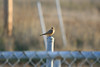 Say's Phoebe<br /> Don Edwards Preserve, Milpitas, CA<br /> 17-Jan-2009