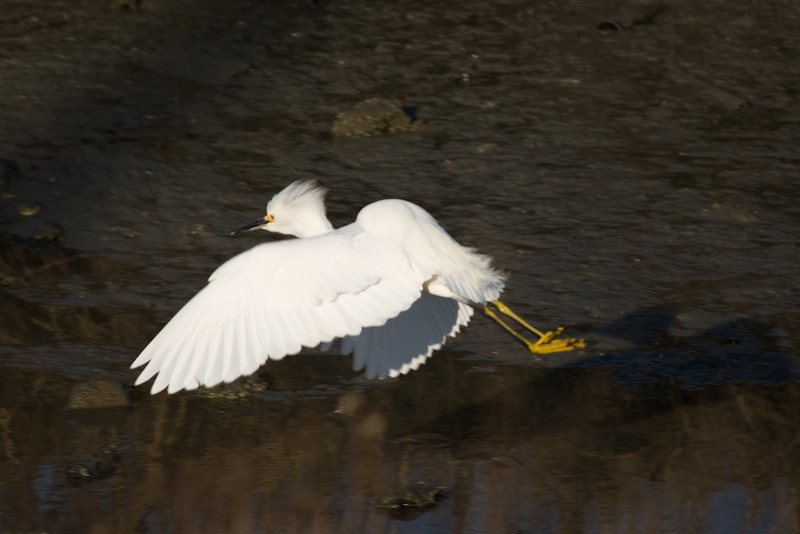 Snowy Egret (juvenile)<br /> Martin Luther King Shoreline, Oakland CA <br /> 17-Jan-2009