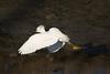 Snowy Egret (juvenile)<br /> Martin Luther King Shoreline, Oakland CA <br /> 17-Jan-2009