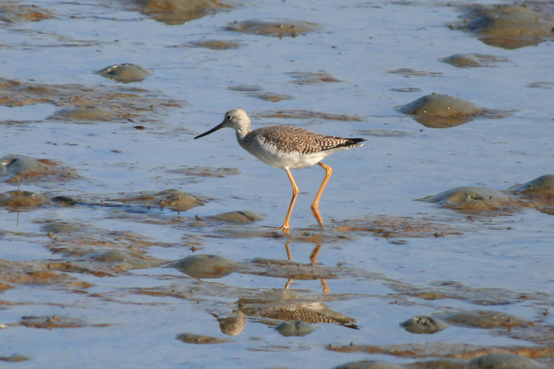 Yellowlegs (I missed whether Greater or Lesser)<br /> Crab Cove, Oakland CA <br /> 17-Jan-2009