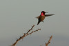Anna's Hummingbird<br /> Don Edwards Preserve, Milpitas, CA <br /> 17-Jan-2009