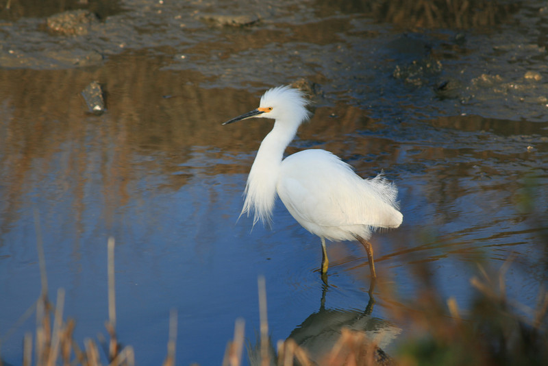 Snowy Egret <br /> (yellow stockings = juvenile, did I learn that right?)<br /> Martin Luther King Shoreline, Oakland CA <br /> 17-Jan-2009
