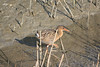 Clapper Rail<br /> Martin Luther King Shoreline, Oakland CA <br /> 17-Jan-2009