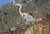 Great Blue Heron<br /> Martin Luther King Shoreline, Oakland CA <br /> 17-Jan-2009