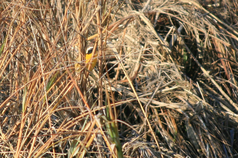 Common Yellowthroat Warbler<br /> Martin Luther King Shoreline, Oakland CA <br /> 17-Jan-2009