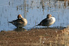 Northern Pintails (female and male)<br /> Martin Luther King Shoreline, Oakland CA <br /> 17-Jan-2009