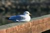 Ring-billed Gull<br /> Martin Luther King Shoreline, Oakland CA <br /> 17-Jan-2009