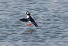 Bufflehead<br /> Martin Luther King Shoreline, Oakland CA <br /> 17-Jan-2009