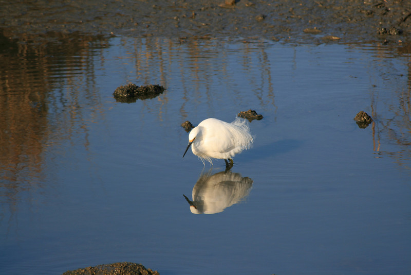 Snowy Egret <br /> Martin Luther King Shoreline, Oakland CA <br /> 17-Jan-2009