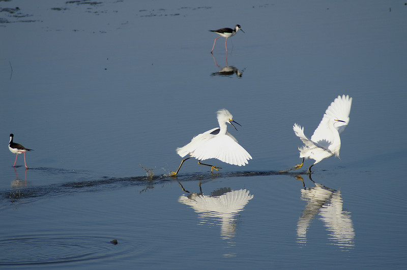 The chase is on... juvenile Snowy Egrets<br /> (Photo courtesy of Chris Kruger)
