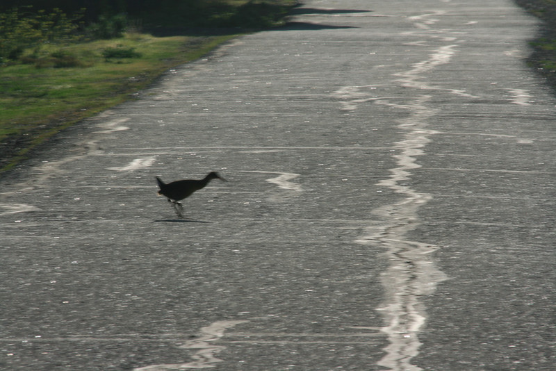 Why did the Clapper Rail cross the road?<br /> (Lousy picture, but I had to include it. :-)<br /> Martin Luther King Shoreline, Oakland CA <br /> 17-Jan-2009