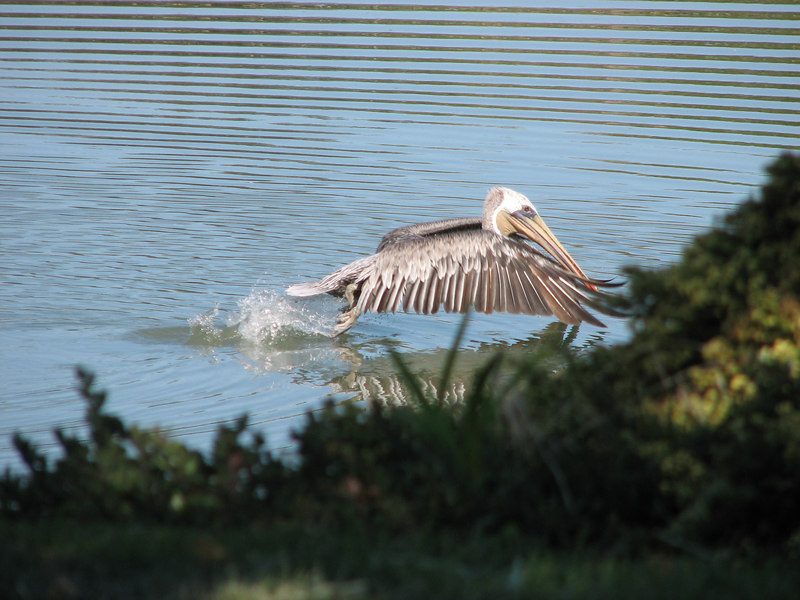 Brown pelican taking off from Belmont slough (taken along hike and bike trail in Redwood Shores)