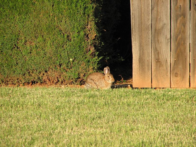 Cotton tail bunny (taken at Mesa Springs in Abilene, TX)