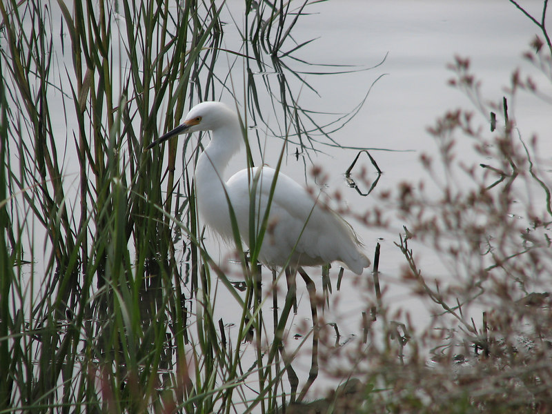 Snowy egret(taken along hike and bike trail in Redwood Shores)