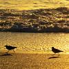 Ruddy Turnstones at sunset