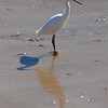 Snowy Egret with two shadows