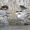 Royal Terns and Black Turnstones