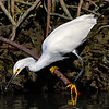 Snowy Egret on red mangrove root