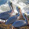 Three Brown Pelicans
