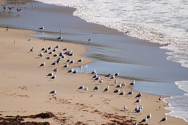 Western Gulls on the beach