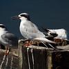 Forster's Terns  (Edwin B Forsyte NWR, New Jersey - 2014/09/27 11:12:07)