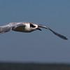 Forster's Tern (Edwin B Forsyte NWR, New Jersey - 2014/09/27 12:01:12)