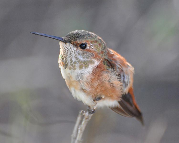Allen's Hummingbird, female