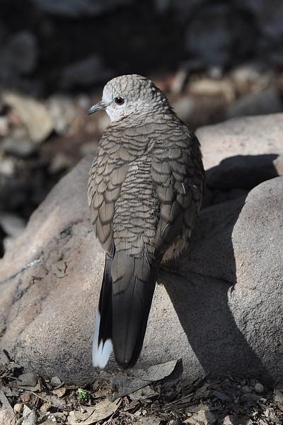 Inca Dove