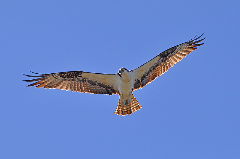 Osprey in morning light
