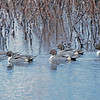 American Pintails
