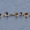 Female Common & Red-breasted Mergansers