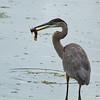 Great Blue Heron with the catch of the day (John Heinz NWR, Philadelphia, Pennsylvania - 2014/09/13 09:19:18)