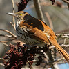 Brown Thrasher ( Cape May Point State Pary, New Jersey - 2014/04/27 08:47:25)