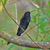 Purple-throated Carib, female
