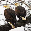 Bald Eagle mating pair