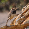Cactus Wren with nest material