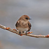 Rough-winged Swallow