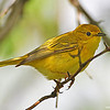 Yellow Warbler female