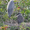 Great Blue Heron and immature