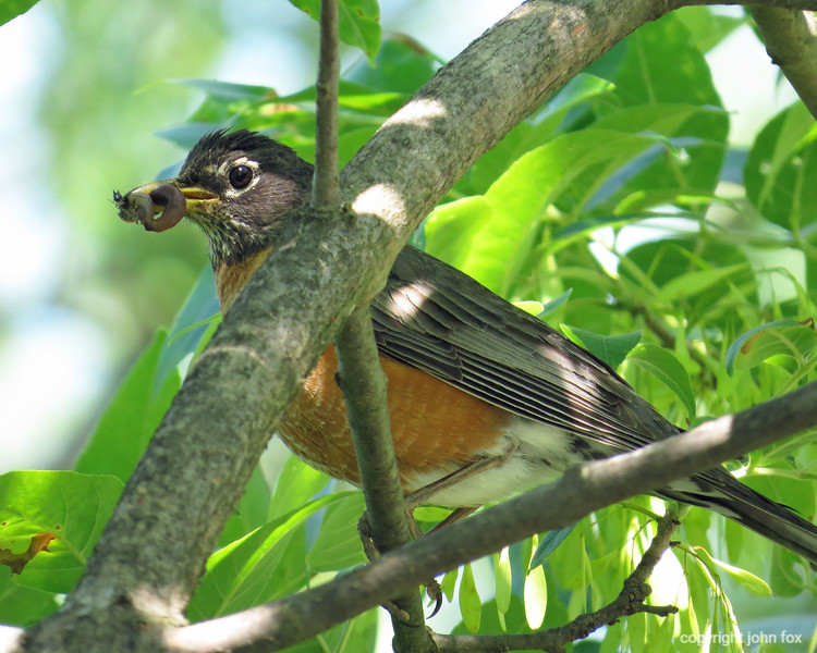 American Robin, with worm