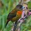 Passerini's Tanager female