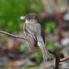 Eastern Phoebe with nest material