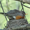 American Robin and chick