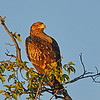 Tawny Eagle, dark phase