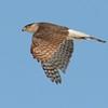 Cooper Hawk adult