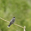 Kingbird (Eastern Kingbird Red Stripe)