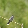 Kingbird (Eastern Kingbird Red Stripe)