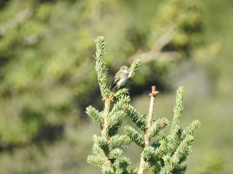 Flycatcher (Least Flycatcher) Juvenile