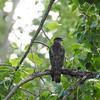 Hawk (Cooper's Hawk)