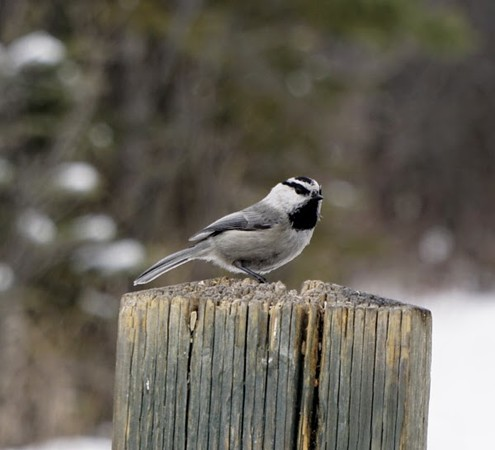 Chickadee (Mountain)